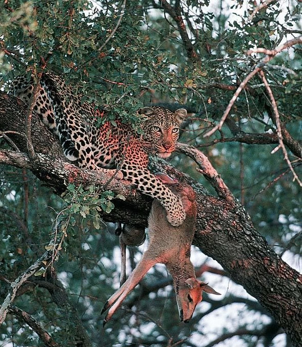 Leopardo y presa en Kruger - Viajes a Sudáfrica