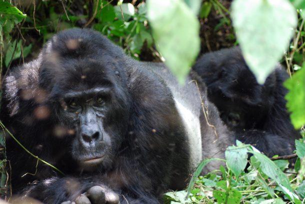 Gorila de montaña - Parque nacional Bosque impenetrable de Bwindi - Viaje a media a Uganda