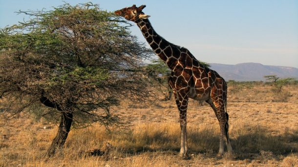 Jirafa - Viaje a medida a Kenia
