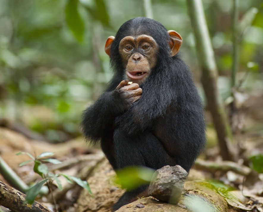 Chimpancé en Kibale - Viaje a Uganda en grupo