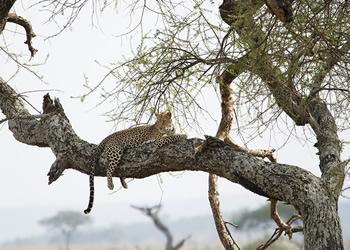 Leopardo - Safari por Tanzania - Viajes Jaipur