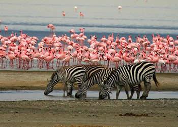 Flamencos y cebras en el lago Manyara - Safari Tanzania y gorilas - Viajes Jaipur